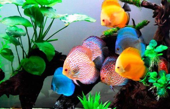 El pez disco, una mascota muy especial